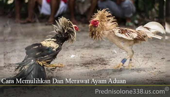 Cara Memulihkan Dan Merawat Ayam Aduan
