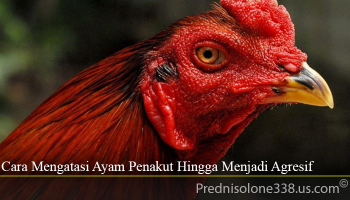 Cara Mengatasi Ayam Penakut Hingga Menjadi Agresif