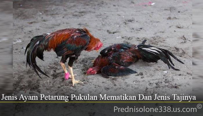 Jenis Ayam Petarung Pukulan Mematikan Dan Jenis Tajinya