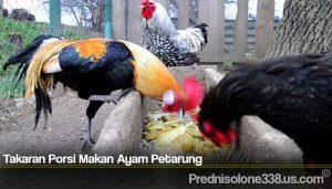 Takaran Porsi Makan Ayam Petarung