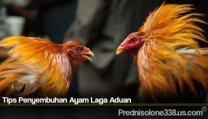Tips Penyembuhan Ayam Laga Aduan