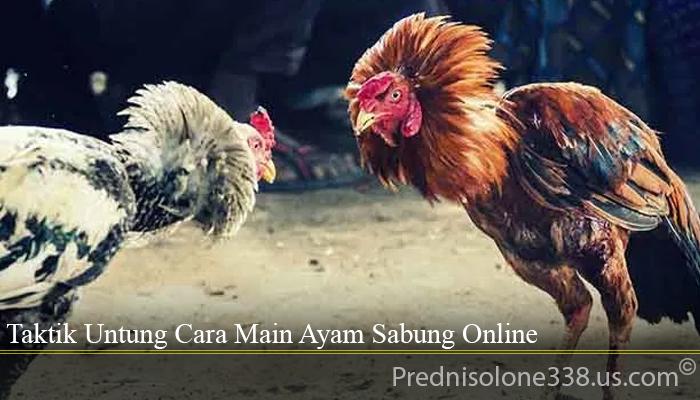 Taktik Untung Cara Main Ayam Sabung Online