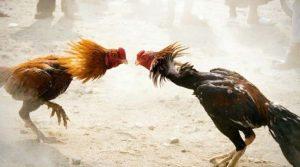 Trik-Mudah-Bermain-Judi-Sabung-Ayam-Online-S128